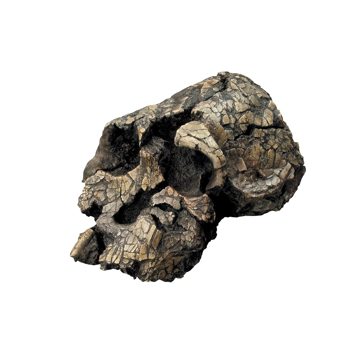 The skull of a 3.3-million-year-old hominin, Kenyanthropus platyops, was found in 1999 about a kilometer from the tool site. Photo: Bone Clones® Kenyanthropus platyops Skull.