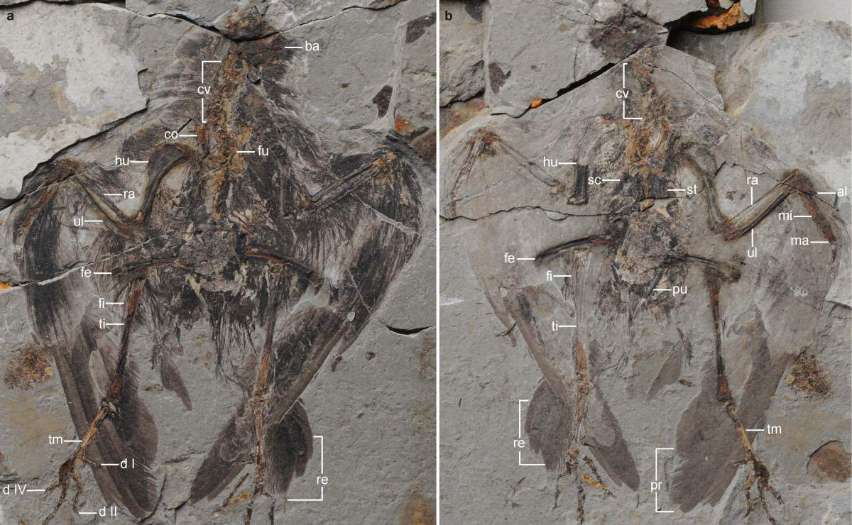 Holotype of Archaeornithura meemannae, the oldest ancestor of modern birds has been dug up in China which evolved almost six million years earlier than previously thought. Source: National News—Zuma Press.