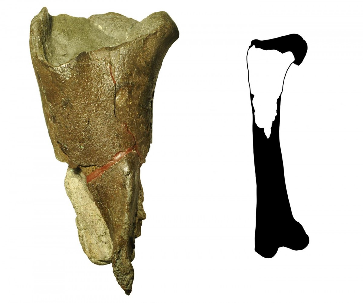 The first dinosaur fossil described from Washington state (left) is a portion of a femur leg bone (full illustration right) from a theropod dinosaur. Theropods are a group of meat-eating, two-legged dinosaurs, including T. rex and Velociraptor. The fossil was discovered by Burke Museum paleontologists at Sucia Island State Park in the San Juan Islands. CREDIT Illustration courtesy of PLOS ONE, modified by the Burke Museum.