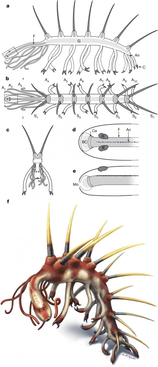 Anatomical drawings of Hallucigenia. Photo Credit: Nature.