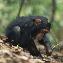 Tool use is 'innate' in chimpanzees