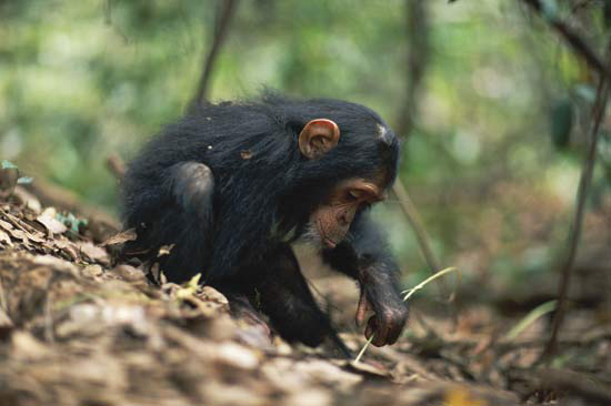 A young chimpanzee uses a stem as a tool to remove termites from a termite mound, Gombe National Park, Tanzania. Credit: Anup. Shah/Nature Picture Library
