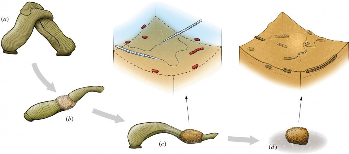 The diagram illustrates the mode of fossilization of microorganisms in clitellate cocoons, exemplified by a common medicinal leech. Photo Credit: The Royal Society Biology Letters.