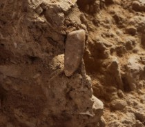 French students discover 560,000-year-old tooth