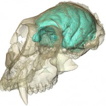 Old world monkey had a tiny but complex brain