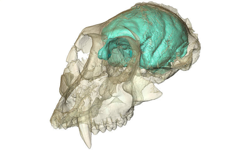 Three-dimensional computer model of the tiny but complex brain of Victoriapithecus, an Old World monkey who lived 15 million years ago. © MPI f. evolutionäre Anthropology/ F. Spoor