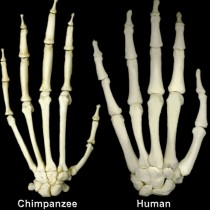 Human hands more primitive than chimp's?