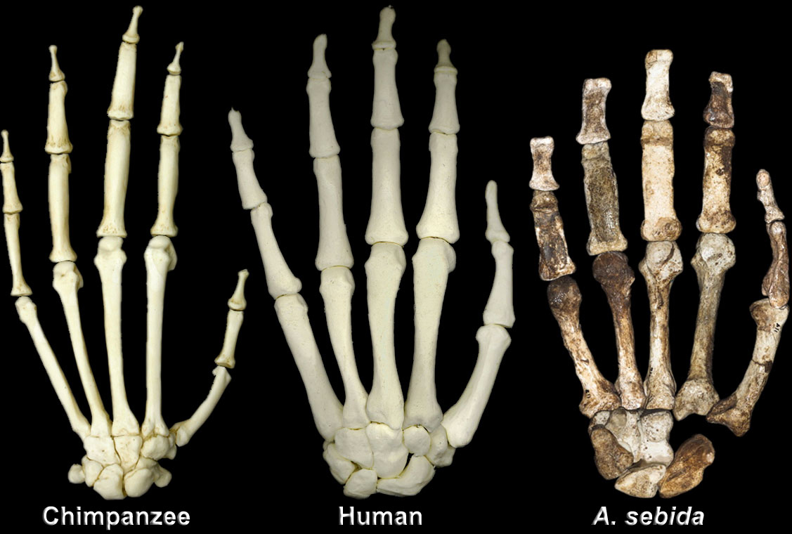 Hand comparison between chimpanzee, human and Australopithecus Sediba.