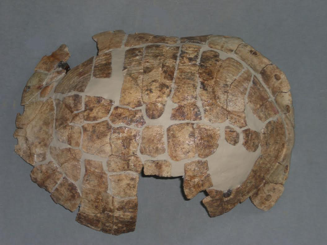 The turtle shell after its conservation in the laboratory of the museum.