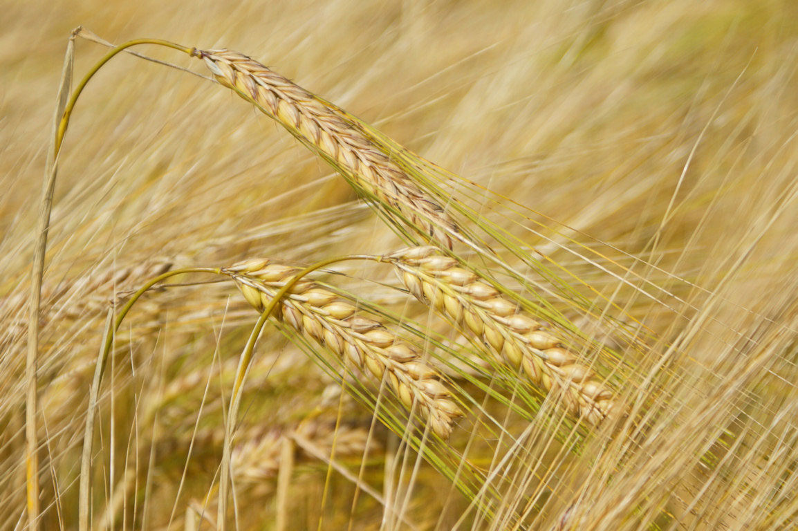 Researchers reconstructed the process of preparing wild barley into meal and flour some 12,500 years ago.