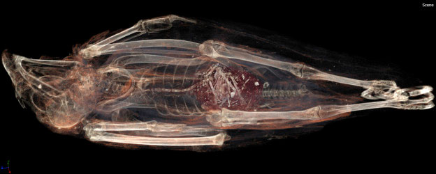 3D image of SACHM 2575 showing the tail of an animal extending through the bird's esophagus, crop and into its gizzard. Image Credit: Stellenbosch University.