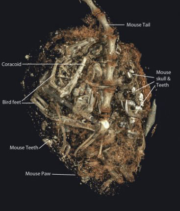3D image of the bones and teeth inside the stomach of SACHM 2575. Image Credit: Stellenbosch University.