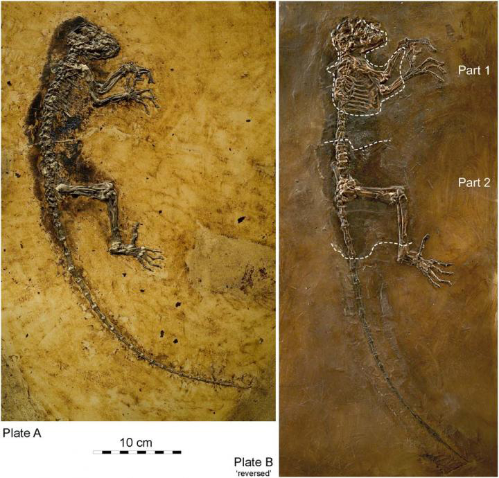 Darwinius is one of the best preserved early fossil primates known to exist. Credit: Jens L. Franzen et al.