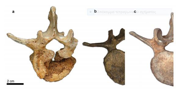Cranial view of SH VL2 (L3) (a) compared to the L3 of the Neandertal of Kebara 2 (b) and the L3 of a modern human (c). Note the more lateral orientation of the transverse process in Kebara 2. Image Credit: PNAS.