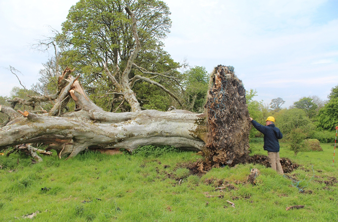 An archaeoolgist is shown excavating bones from the roots of a centuries-old tree in Sligo, Ireland. Credit: Marion Dowd.