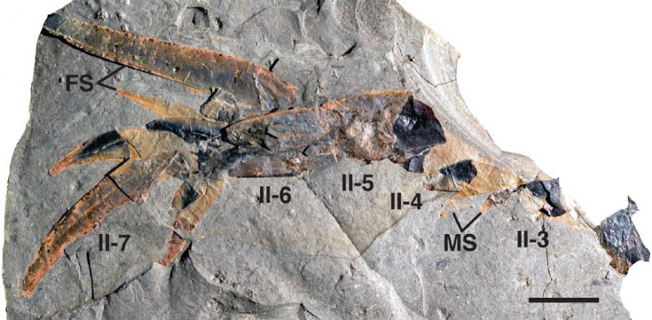 An up-close view of one of the sea scorpion's fossilized appendages. Photo Credit: James C. Lamsdell et al / BMC-Evolutionary Biology.