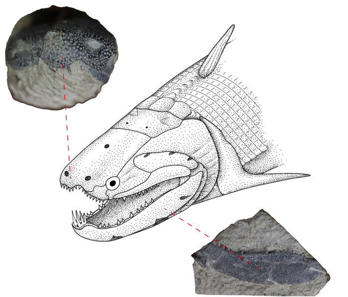 Reconstruction of the Devonian fish Psarolepis together with photos of the two elements (nose and lower jaw) that were cut to enable the researchers to look at the enamel. Courtesy of Qingming Qu and Min Zhu.