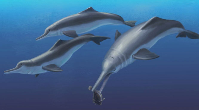 Fossil dolphin artist's recreation. Image Credit: Julia Molnar / Smithsonian Institution.