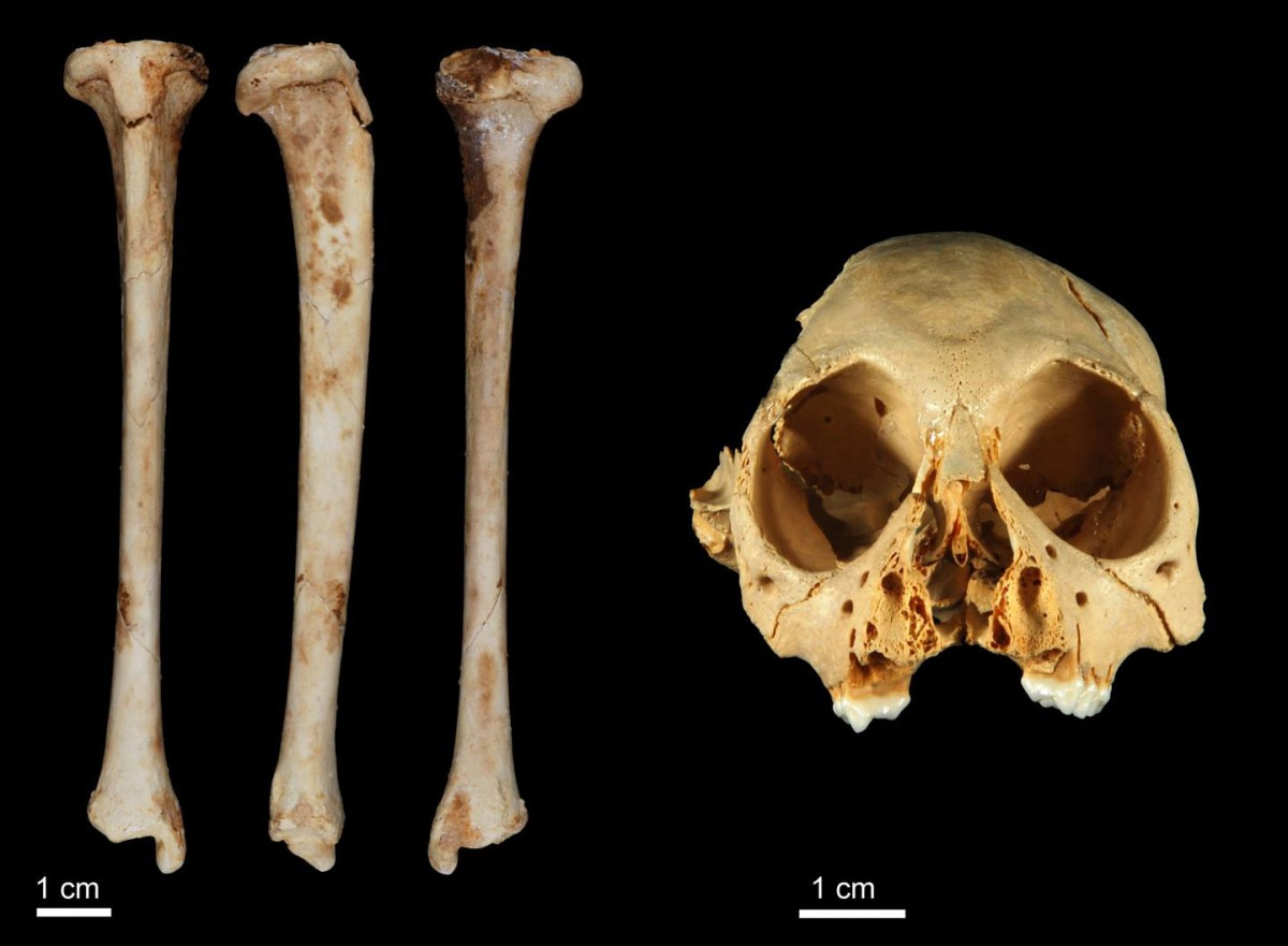 This image shows the Antillothrix bernensis tibia and cranium. Credit: Siobhan Cooke.