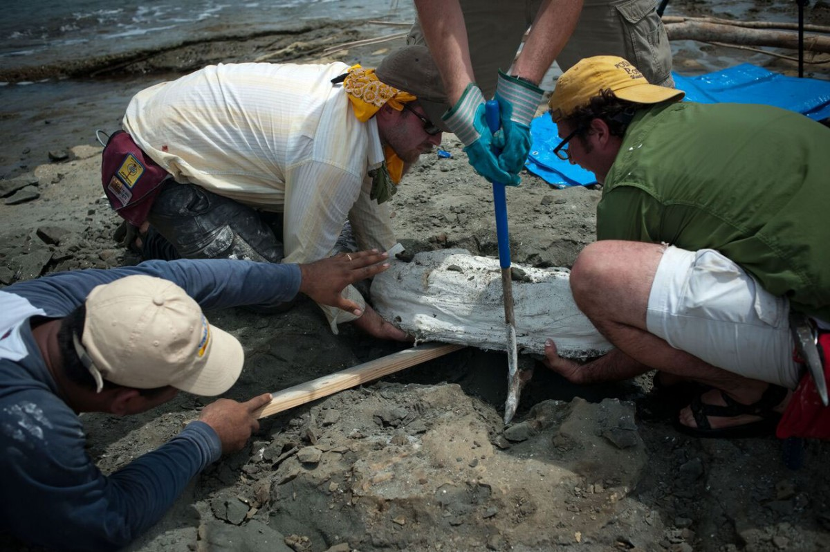 Scientists from the Smithsonian's National Museum of Natural History and the Smithsonian Tropical Research Institute collect the fossils of Isthminia panamensis, a new fossil dolphin, from the Caribbean coast of Panama on 18 June 2011. The fossil is encased in a white plaster jacket, and recovered as the tide rushed in. Photo Credit: Aaron O'Dea / Smithsonian Institution.