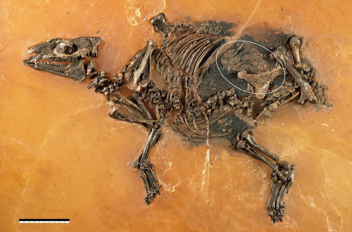 Skeleton of a mare of Eurohippus messelensis is shown with fetus (white ellipse). The specimen was discovered and excavated by a team of the Senckenberg Research Institute Frankfurt at the Grube Messel (Germany; inv. no. SMF-ME-11034), shoulder height ca. 30 cm, scale = 10 cm. Credit: Franzen et al. Photo: Senckenberg Forschungsinstitut Frankfurt, Sven Tränkner