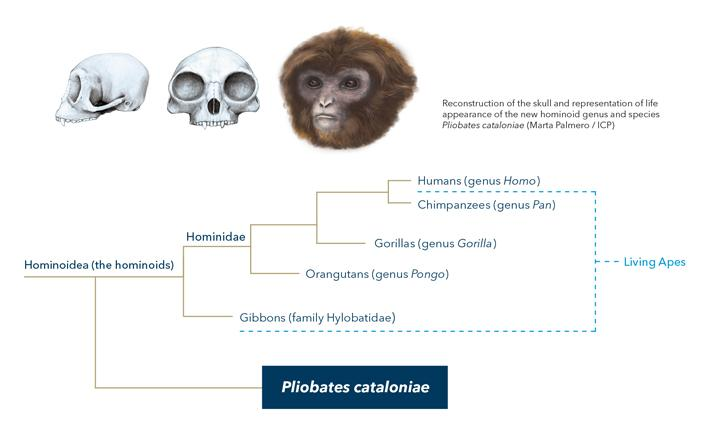 A team of researchers from the George Washington University and the Institut Català de Paleontologia Miquel Crusafont identified a new genus and species of small ape that existed before the evolutionary split of humans/great apes (hominids) and gibbons (the 'lesser apes' or hylobatids). Credit: Marta Palmero / Institut Català de Paleontologia Miquel Crusafont