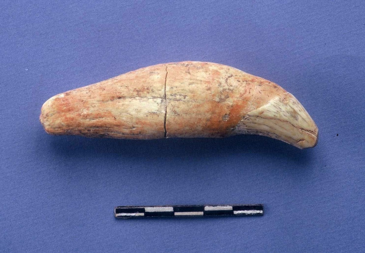 Fig. 42. Cave bear's tooth from cave.