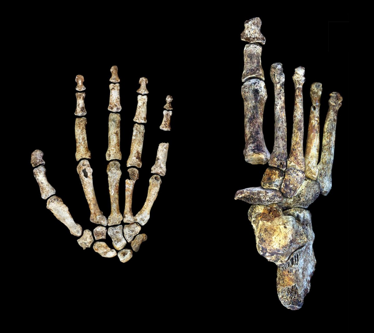 The Homo naledi hand and foot were uniquely adapted for both tree climbing and walking upright. Credit: Peter Schmid and William Harcourt-Smith/Wits University.