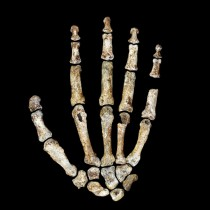The hand and foot of Homo naledi