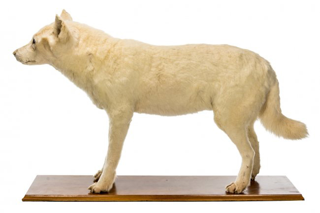 Kurī were smallish dogs about the size of cocker spaniels and were brought to New Zealand from East Polynesia in the colonising canoes that arrived in the early fourteenth century AD.