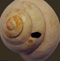 Prehistoric diet included land molluscs