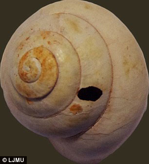 The holes on the shells of the molluscs is consistent with the presence of stone tools in the cave, probably used as drills to extract the meet. Photo Credit: LJMU.