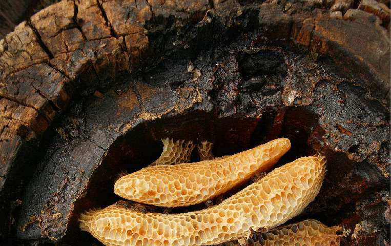 A hollow log hive of the Cévennes (France) reveals the details of circular comb architecture in Apis mellifera.Credit: Eric Tourneret.