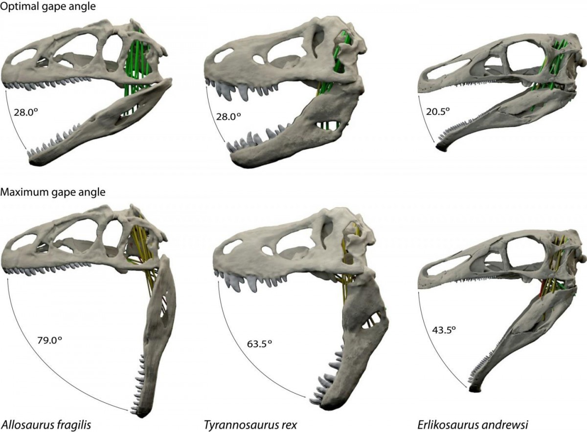 Optimal and maximal jaw gapes for the three dinosaurs in the new study: Allosaurus fragilis, Tyrannosaurus rex and Erlikosaurus andrewsi. Credit: Stephan Lautenschlager, University of Bristol.