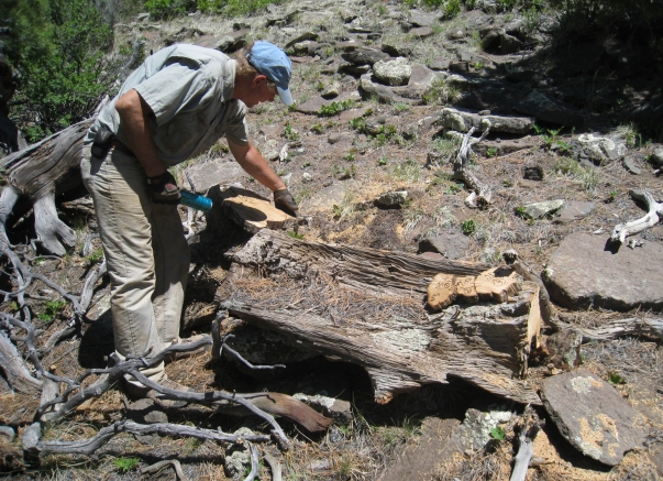 Chris Baisan of the UA's Laboratory of Tree-Ring Research samples a dead tree in New Mexico's Chuska Mountains. The tree dates from the time that ancient Puebloans were building massive structures in Chaco Canyon, about 50 miles away. (Photo: Christopher H. Guiterman)