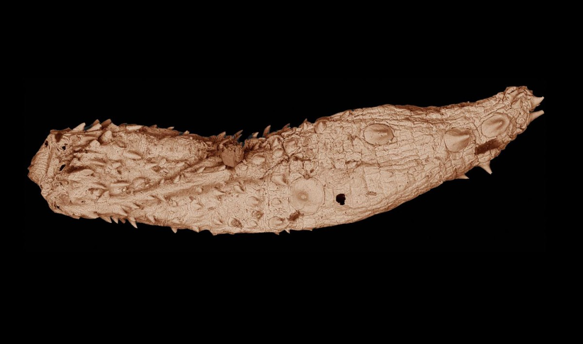 Details of the Eokinorhynchus rarus fossil, only a few millimeters in length, can be seen in this electron microscopic image. More than 530 million years old, the ancient worm was found in South China by researchers associated with Virginia Tech and is closely related to the ancestor of modern animal phylum kinorhyncha. Credit: Virginia Tech