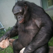 Bonobos Documented for First Time Using Ancient Pre-Agricultural Tools