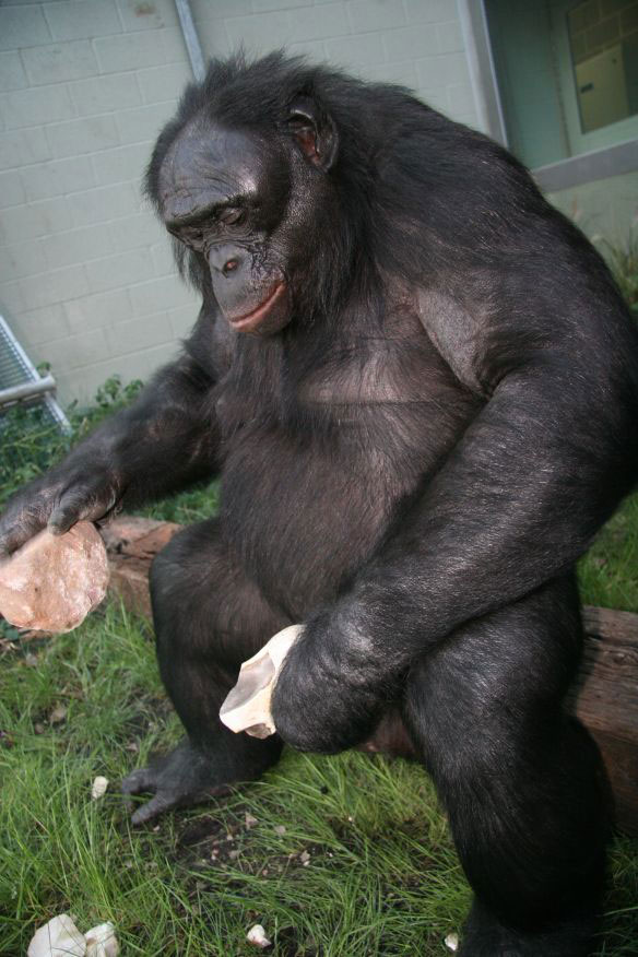 Bonobos are capable of undertaking sophisticated sequential-actions. (Photo creditÖ University of Haifa)