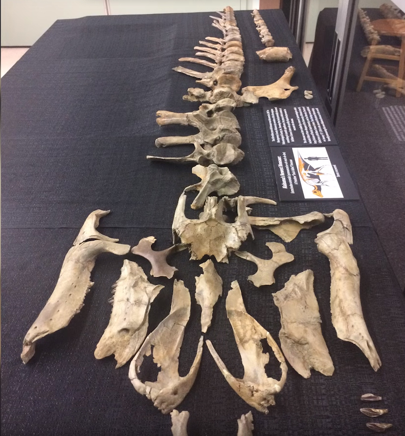 """This is a very complete skeleton,"" Gregory Erickson says. Most dinosaurs are only known from about 15% of a skeleton. At this animal, researchers know maybe 40-45% of the skeleton, and have the most important features, which are the skull and the hips of it."