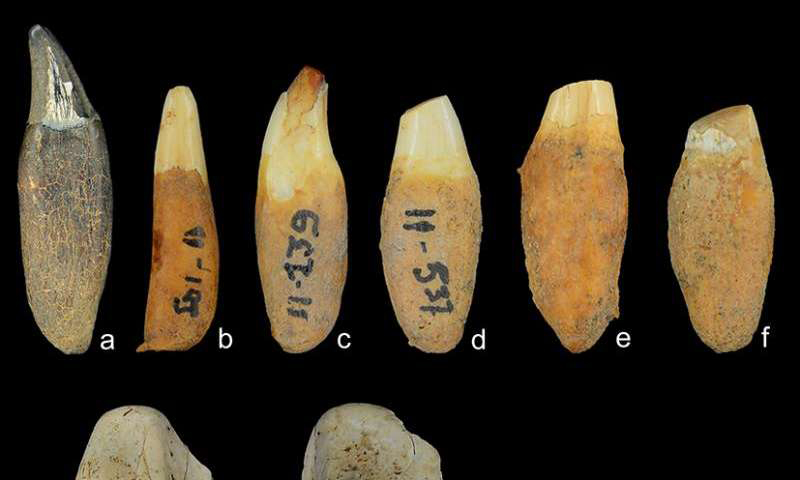 Dolphin teeth found in midden indicate that islanders were eating dolphin meat. (A-F and H) Delphinus, common dolphin. (G) Tursiops, bottlenose dolphin. Credit: courtesy: Richard Cooke.