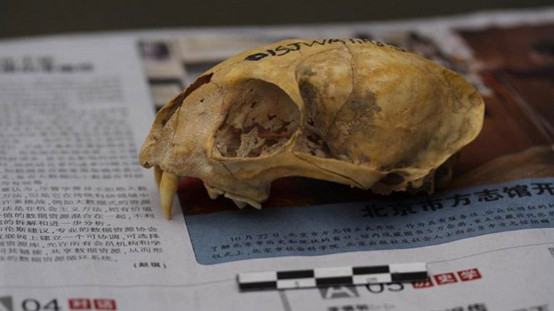 Skull of a Neolithic domestic cat from Wuzhuangguoliang (Shaanxi, 3200-2800 BC). The newspaper on which it is placed facilitates calibration of photogrammetric images for 3D reconstructions. Photo Credit: J. D. Vigne-CNRS/MNHN.