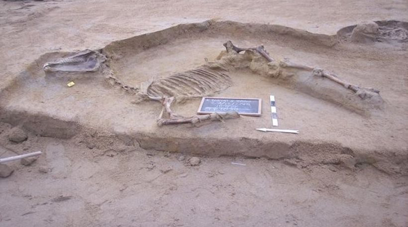 The very well preserved horse skeleton could be an excellent opportunity for studying the evolution of the species.