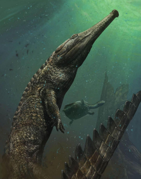 Machimosaurus rex had bullet-shaped teeth shaped with blunt tips and wrinkles, thought to have been used to crush carapaces of marine turtles. Illustration by Davide Bonadonna