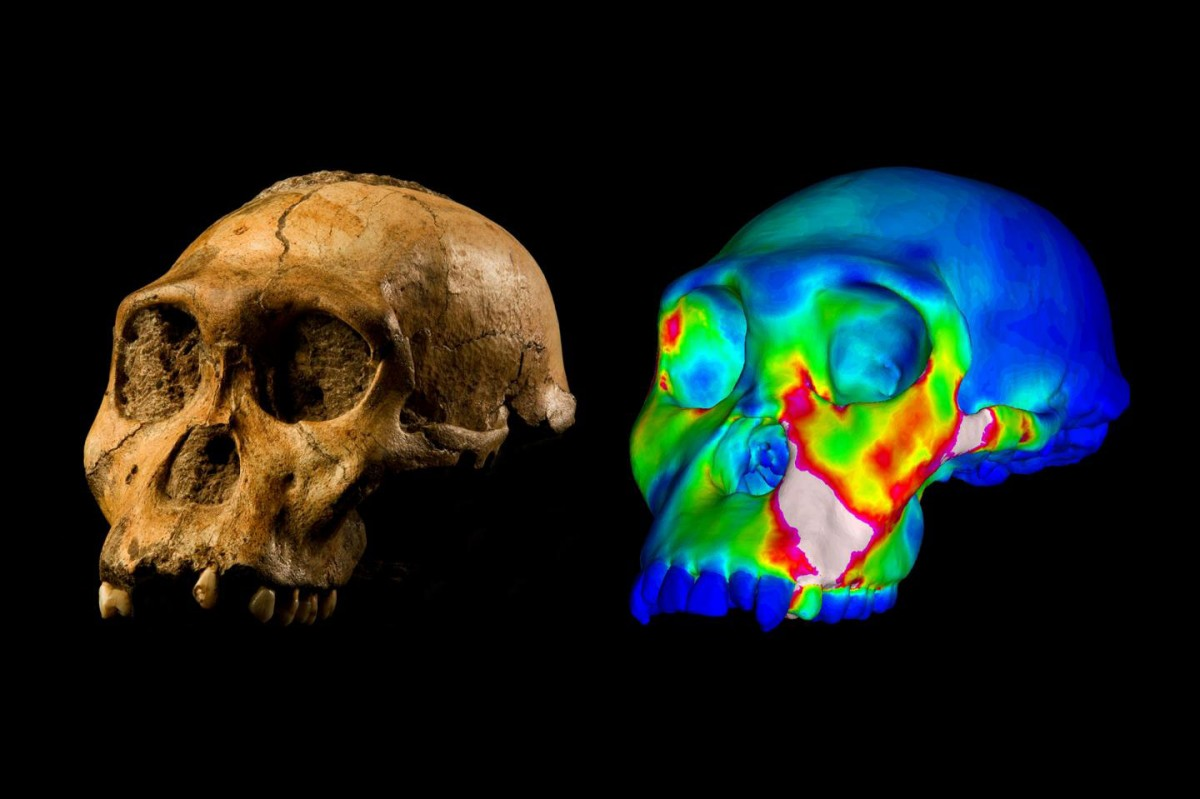 The fossilized skull of Australopithecus sediba specimen MH1 and a finite element model of its cranium depicting strains experienced during a simulated bite on its premolars.