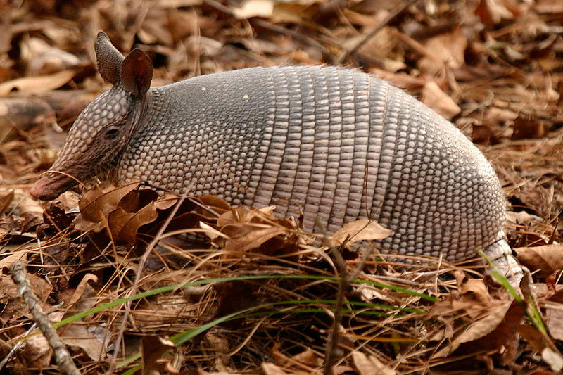 Nine-banded Armadillo located in Silver River State Park, Fl. Photo: Wikimedia Commons.