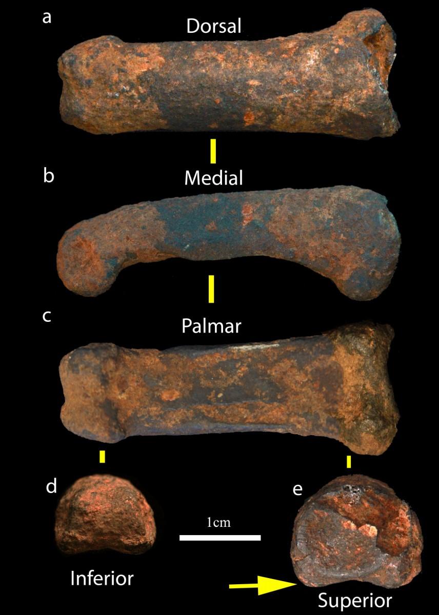 New hominin finger bone found at the Sterkfontein Caves. Credit: Jason Heaton.