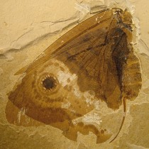 Paleobotanist plays role in discovery of 'Jurassic butterflies'