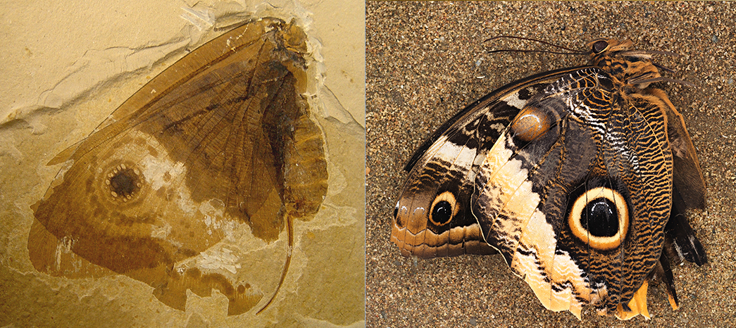 The fossilized lacewing Oregramma illecebrosa, left, and the modern owl butterfly Calico memnon, right. Credit: Conrad C. Labandeira and Jorge Santiago-Blay.