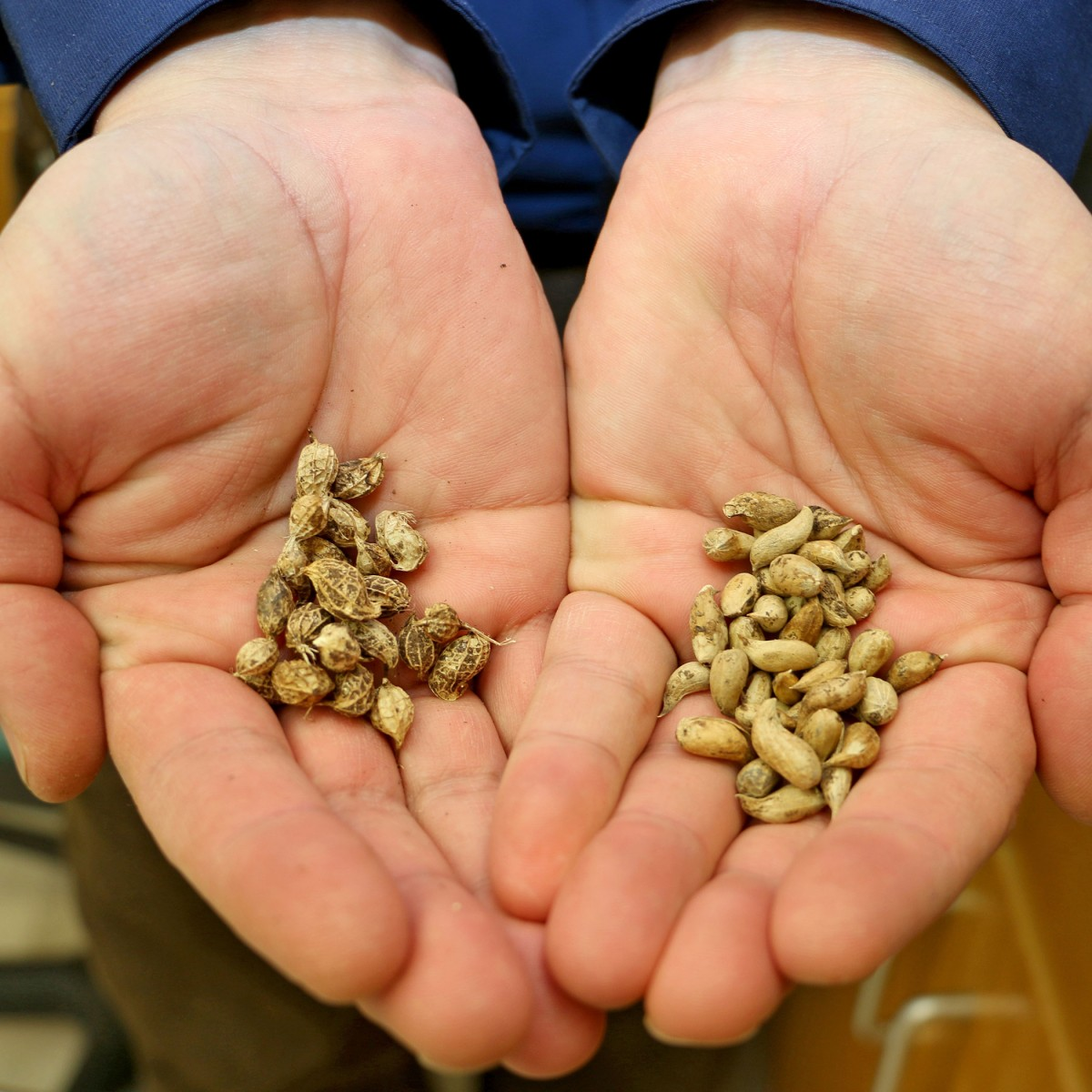 Arachis ipaensis, left, and Arachis duranensis, right, are the two species of wild peanut that crossed to provide the genetic blueprint for today's modern peanut varieties. (Credit: Merritt Melancon/University of Georgia)