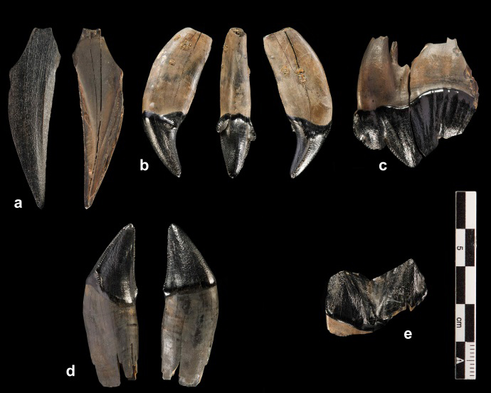 Teeth of a young  sabertooth cat (Homotherium latidens). Photo: Volker Minkus.